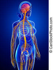 sistema nervoso, femmina, grafica