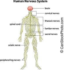 sistema nervoso, human