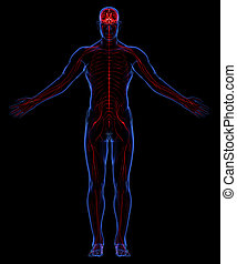 sistema nervoso umano