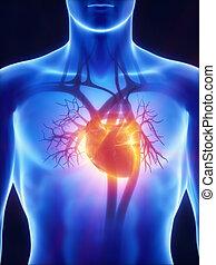 sistema, radiografía, cardiovascular