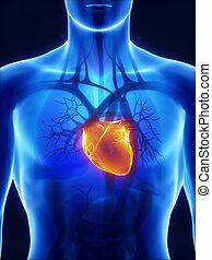 sistema, raggi x, cardiovascolare