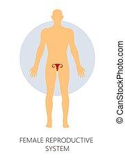 sistema reproductor femenino, aislado, anatomía, humano,...