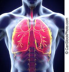 sistema respiratorio, humano