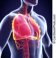 sistema respiratorio, umano