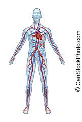 sistema, umano, cardiovascolare