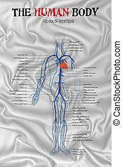 sistema, venoso, cuerpo, humano