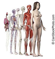 sistemi, femmina, anatomico