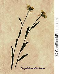 Sisymbrium altissimum in herbarium - Herbarium from pressed ...