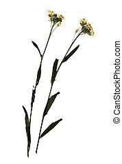 Sisymbrium altissimum in herbarium - Pressed and dried ...