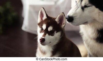 sit three husky dogs on the floor