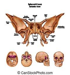 sites., すべて, 記述, bone., 名前, sphenoid