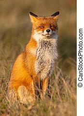 sittande, räv, (vulpes, vulpes), bak ben, röd