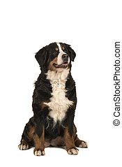 Sitting adult bernese mountain dog isolated on a white background with mouth open