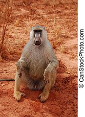 sitting baboon - the baboon is sitting on the ground without...