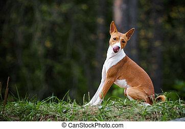 sitting basenji dog