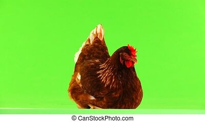 sitting brown hen isolated on green screen