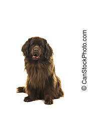 Sitting brown newfoundland dog looking at the camera isolated on a white background