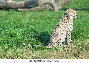 Sitting cheetah cub