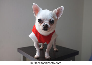 Sitting Chihuahua in red shirt