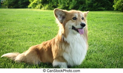 sitting corgi fluffy - beautiful welsh corgi fluffy sitting...