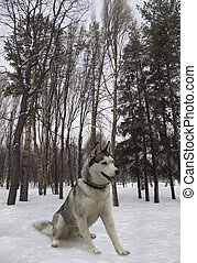 sitting dog breed Siberian Husky