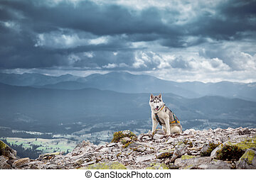 Sitting dog looks at the mountains sibirian husky