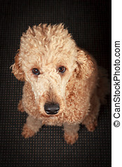 Sitting Dog - Staring poodle begging for sweets with long...