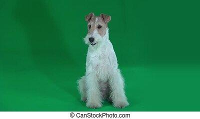 Sitting fox terrier. Green screen - Furry fox terrier sits...