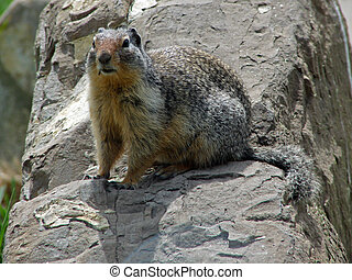 A Gopher sites on a rock