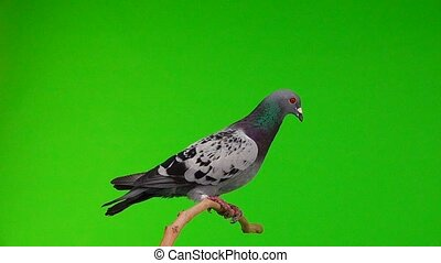 sitting gray shtihel dove isolated on green background