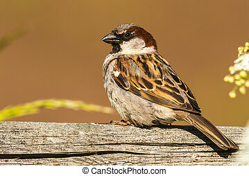 sitting house sparrow - Passer domesticus