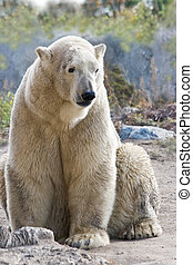 Sitting ice- or polarbear looking - vertical image