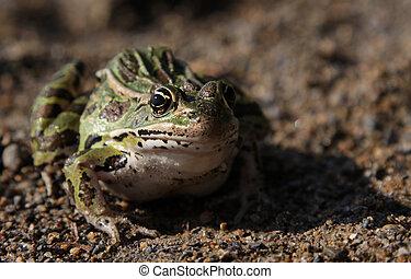 Sitting Leopard Frog