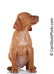 sitting Magyar Vizsla looking to a side over white background