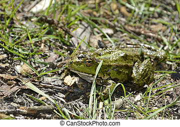 Sitting on the grass green toad.