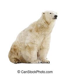 Sitting polar bear. Isolated over white