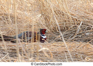 Male ring-necked pheasant sitting in a field of tall grass.