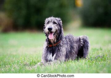 Sitting scottish wolfhound - Scottish wolfhound dog lying on...