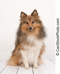 Sitting shetland sheepdog or sheltie seen from the front facing the camera in a white living room interior