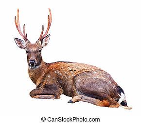 Sitting Sika deer - Sitting Sika deer (Cervus nippon) over...