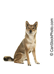 Sitting Skikoku dog looking at the camera isolated on a white background