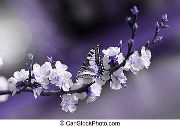 sitting stunning butterfly on a branch of cherry blossoming, in a purple shade