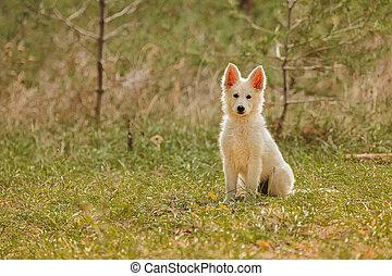 Sitting swiss Shepherd Puppyin