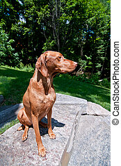 Sitting Vizsla Dog (Hungarian Pointer)