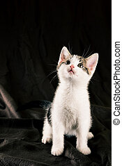 Sitting white kitten on dark brown blanket