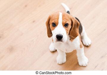 sitzen, beagle, junger hund