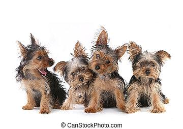 sitzen, yorkshire, hintergrund, hundebabys, weißes, terrier