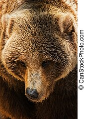 siwy, closeup, niedźwiedź