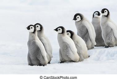 Six Emperor Chick, Seis ping?inos emperador Chiks en la nieve.