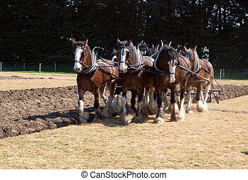 Six Horse Clydesdale Team Ploughing